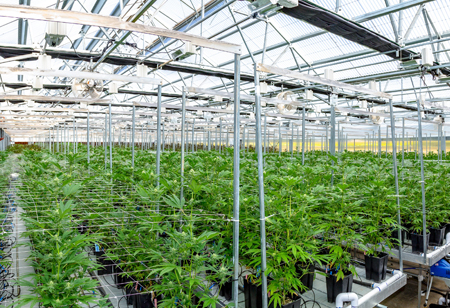 What is the Role of Robots in Cannabis Production?